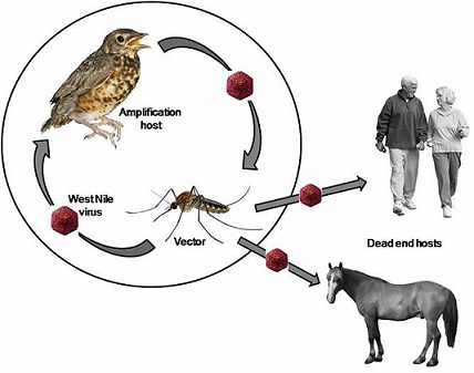 All Information About West Nile Virus - Transmission