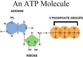 Difference Between ATP And ADP-what is atp
