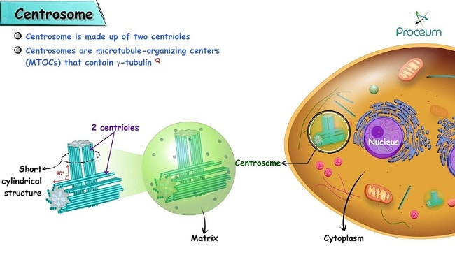 Difference Between Centrosome And Centriole - what is centrosome - what is centriole