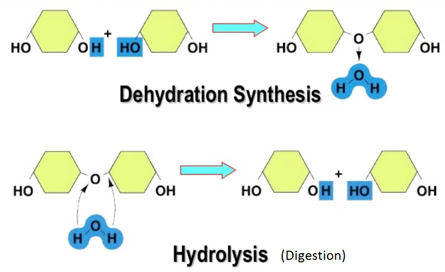 Difference Between Hydrolysis and Dehydration Synthesis - Digram