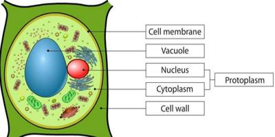 Difference Between Protoplasm And Cytoplasm-what is protoplasm