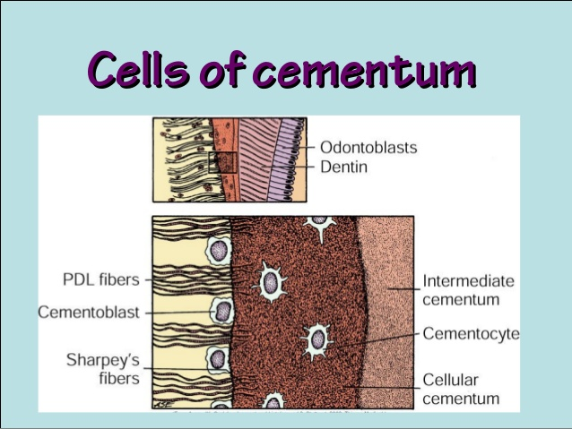 Difference Between Enamel And Cementum - What Is Cementum