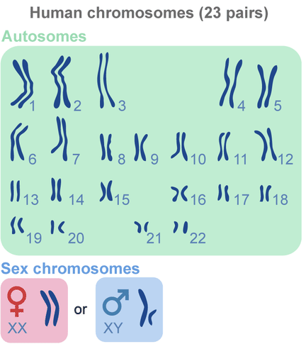 Difference Between Autosome And Sex Chromosome - Chart