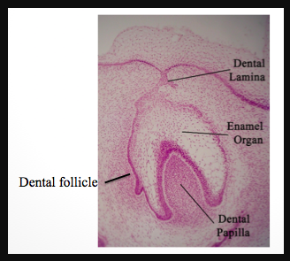 Difference Between Dental Papilla And Dental Follicle - chart